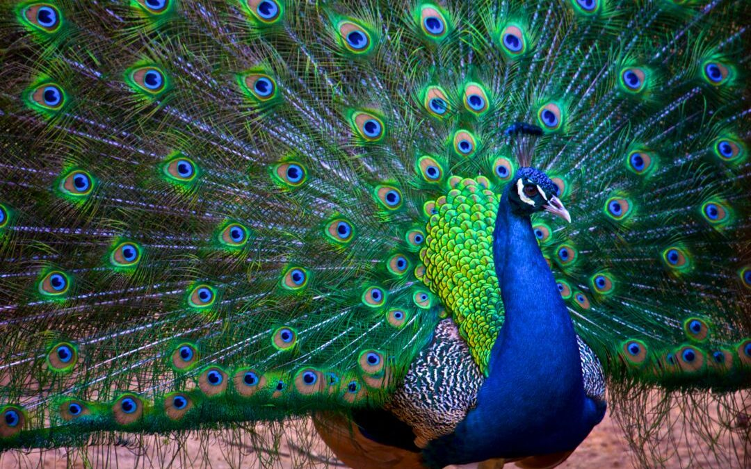 Image – Corporate Image and Peafowls